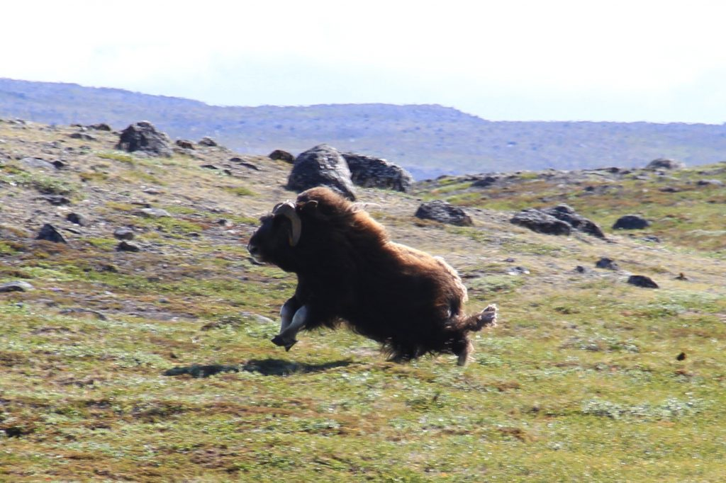 Shoot a musk ox like this. Check out trophy hunting prices on www.majorhunting.com